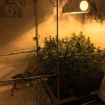 Gm. Przywidz – likwidacja domowej uprawy marihuany