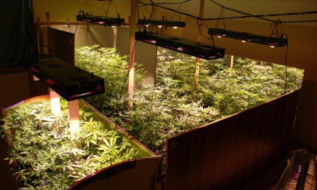 Policjanci z Pruszcza Gdańskiego doprowadzili do likwidacji plantacji marihuany.